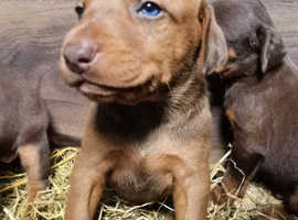 Doberman pup reasy now