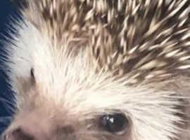 Female Hedgehog
