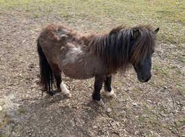 Beautiful Shetland mare in foal
