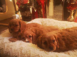 Outstanding F1 Red Cavapoo Puppies