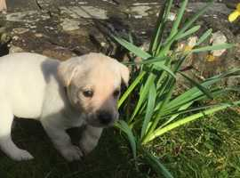 KC Reg puppies yellow Labrador
