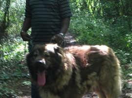 One Large Male Stud Dog for Sale FCI pedigree