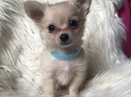 Chihuahua Dogs & Puppies For Sale & Rehome in Carlisle