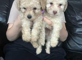 Beautiful poochon pups