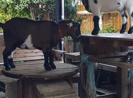 Lovely friendly pygmy goats