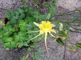 aquiliga mekena large lemon seeds