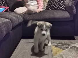 Gorgoues husky puppy 1 boy left