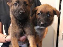 Belgium Malinois Puppies