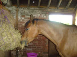 Wanted fell or friesian broodmare on loan