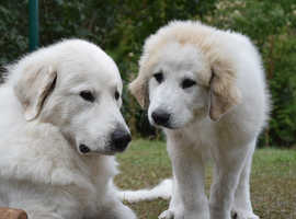 Pyrenean Mountain Dog puppies looking for new home