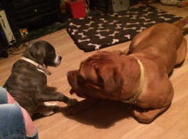 dogue de bordeaux bitch,3,yrs old very big ex pedigree