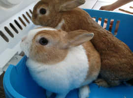 2 female rabbits 2yrs old