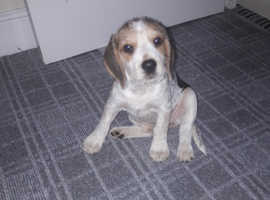 Beagle Girl 10 weeks in London