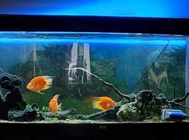 Aquarium  with 3 parrot cichlid fish