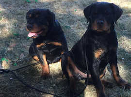 Rottweiler Pups for Sale both FCI pedigree