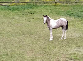 7months old cob foals