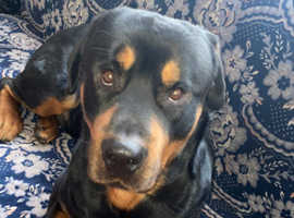 Trained family Male rottweiler