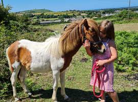 Dartmoor Pony, Passport and Microchipped