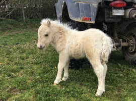 Palomino and white mini Shetland foals
