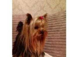 Gorgeous miniature Yorkshire terrier pup