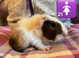 Male and Female Baby Guinea Pigs