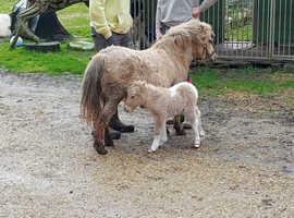 part fallabella palomino  tobiano filly foal