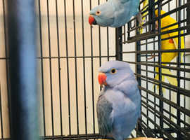 Beautiful baby blue Ringneck talking Parrot