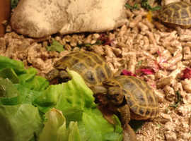Baby Horsfield Tortoises for sale NO OFFERS