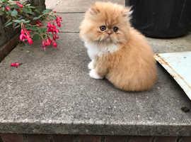 Beautiful doll faced pedigree persian Male kitten