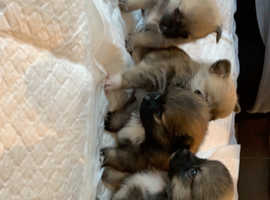 RARE pomchi pups ready to go in 2 weeks