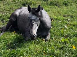 Grey Thoroughbred mare