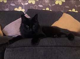 Female longhair black cat