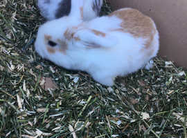 2 pure bred baby mini lops