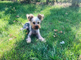 Miniature Yorkshire terrier boy
