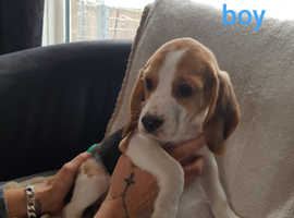 Beagle puppies for there forever homes