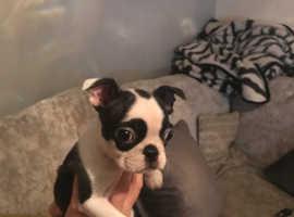 Ready now Boston terrier puppies