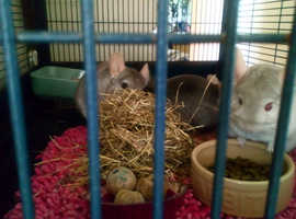 Trio of female chinchillas and double storey cage