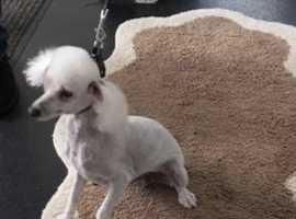 miniature poodle bitch