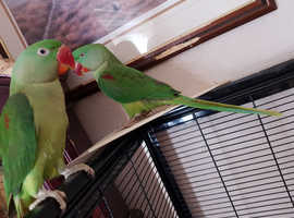 Two Alexandrine parakeets for sale, one adult Female NOT TAME, one young male SEMI TAME