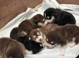 Alaskan Malamute Puppies KC Reg ready to go from 12/4/19 (Like Huskies)