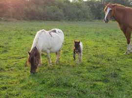 Shetland mare SPSBS registered