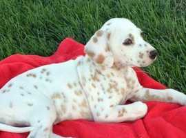 Dalmatian Dogs Puppies Wanted In Suffolk Find Dogs Puppies