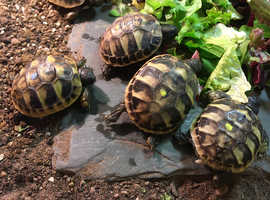 Hermanns Tortoise Hatchlings - Ready now