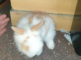 Lionhead rabbits for sale £30.00 each