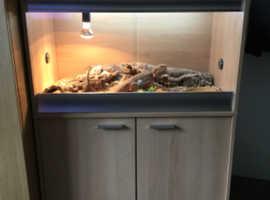 Bearded Dragon with full set up vivarium & unit