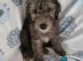 Bedlington bitch /dog /puppy