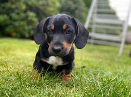 Miniature Jack russel x miniature dachshund