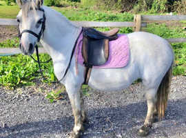 11.2hh Registered Section A mare 10yr old