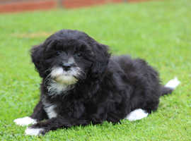 Stunning Shihpoochon male puppy READY NOW