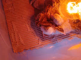Guineafowl keets
